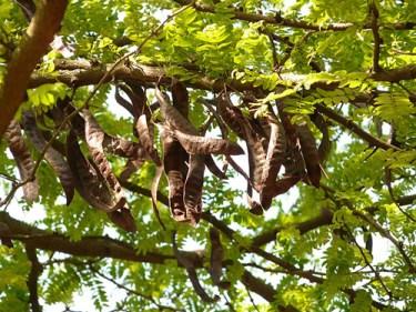 carob tree powder nutrition