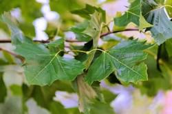 chestnut leaves health benefits