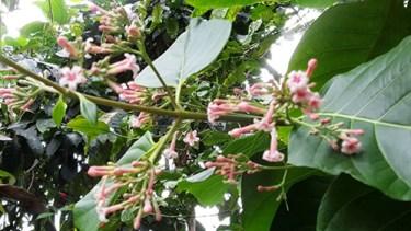 cinchona flower benefits