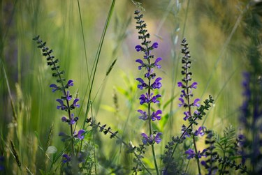 clary sage plant medicinal uses