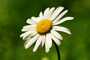 wild daisy flower benefits for skin