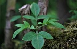 elderberry supplement benefits