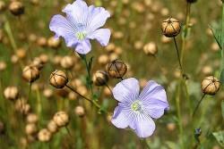 Flaxseed Plant Health Benefits 1