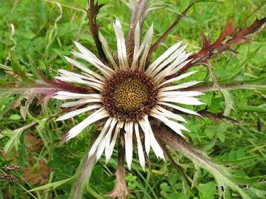 scientific name for carline thistle