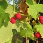 Wild Hops Plant Health Benefits 11