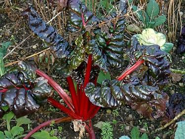 is rhubarb plant bad for kidneys