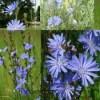 Chicory Traveller Root Radix Cichorii 50g digestive disorders