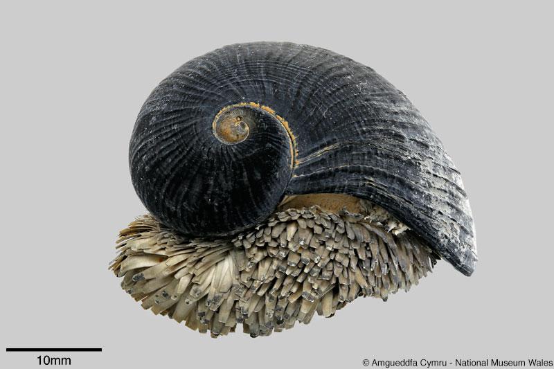 Resultado de imagem para chrysomallon squamiferum image
