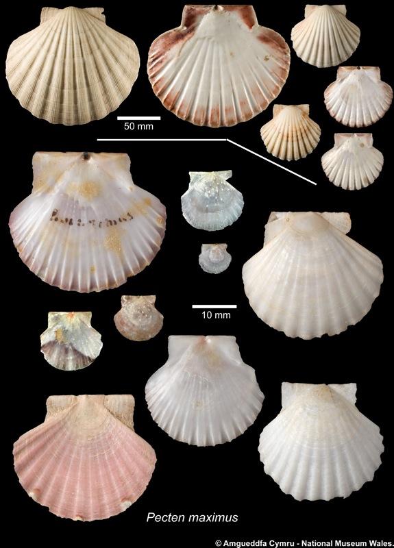 Pecten Maximus Linnaeus 1758 Marine Bivalve Shells Of