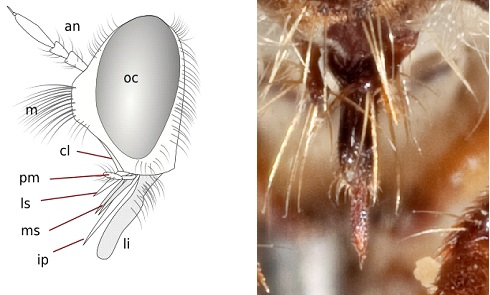Mouthparts of a robber fly (Brachycera: Asilidae). an=antenna; cl=clypeus; ip=hypopharynx; li=labium; ls=labrum (epipharynx); m=mystax; ms=maxillae; oc=eye; pm=maxillary palpus. © Giancarlo Dessì. Licensed under CC BY NC SA 3.0 US