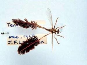 Pegesimallus teratodes and its amazing legs