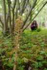 The beautiful bird's-nest orchid, (Neottia nidus-avis) in woodland