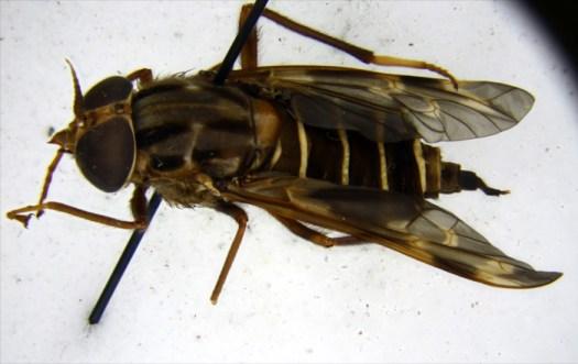 Opetiops alienus