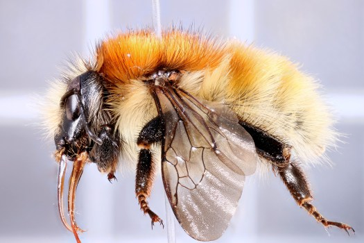Photo showing a lateral view of the bee