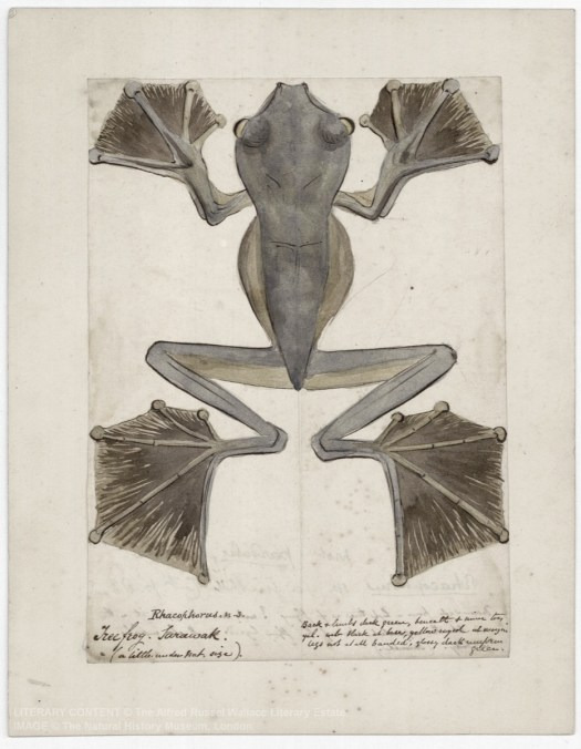 Image showing a scan of a drawing of a frog by Wallace with accompanying annotations
