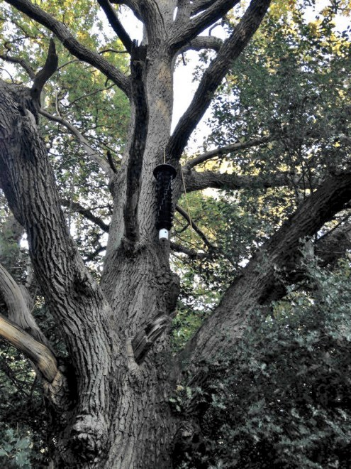 Photo of an oak tree with funnel trap suspended from a branch half way up the bough