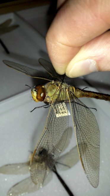Photo showing Anthony's fingers holding the pin through a specimen of the dragonfly