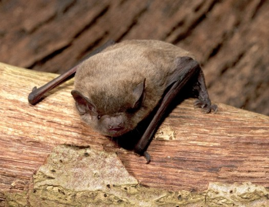 Photo of the bat resting on the branch