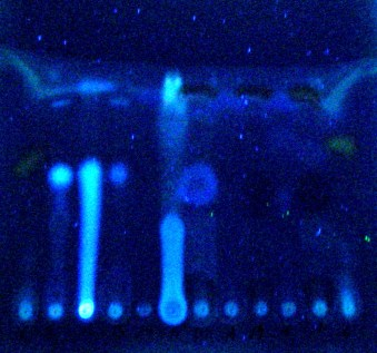 Photo showing the different bands in the chromatogram, glowing under UV light