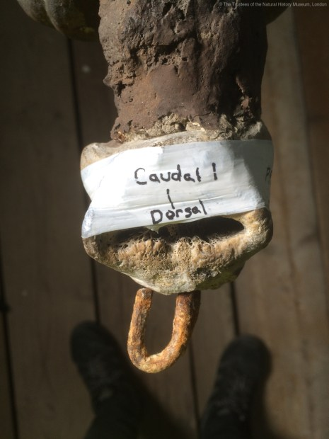 Photo of the vertebra from above, wrapped in tape with a label to describe its position on the skeleton,