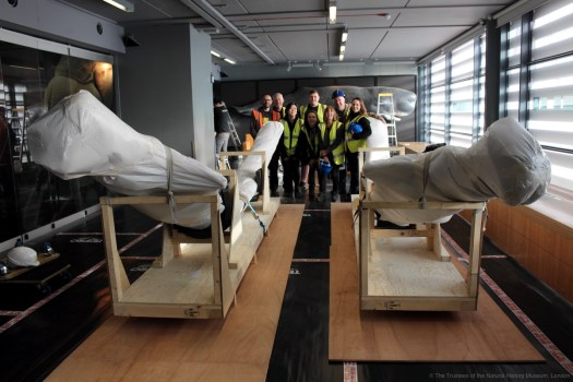 Photo from behind the mandibles in their wooden frames, with the conservation and moving team in the background