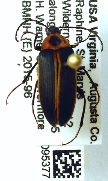 Photo showing a pinned specimen of the beetle with accompanying taxonomic information and QR code on card