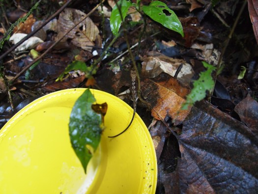 Photo showing a yellow trap with a camouflaged reptile centred, with its tail dangling onto the edge of the trap and its body barely visible in the leaf matter on the ground.