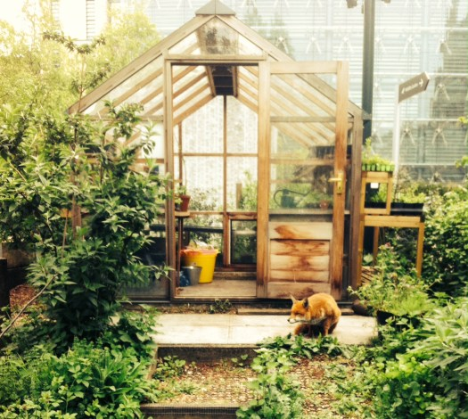 Photo of a fox crouching on the paving in front of a greenhouse in the garden