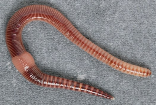 A pink earthworm with brown stripes and distinct fleshy band around its middle.