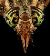 Photo showing the dramatic colouration and banding on a horsefly's eyeballs