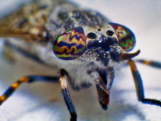 Macrophotograph of the head of the fly showing the dramatic colouration of its eyes