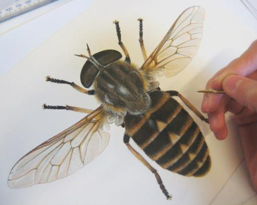 Photo showing the finished drawing of the dark giant horsefly, with the artist's hand holding a brush at the edge of the photo