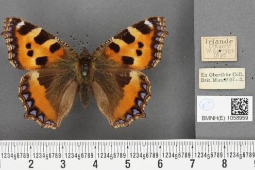 The digital image of the butterfly with scale bar, QR code and historical labels.