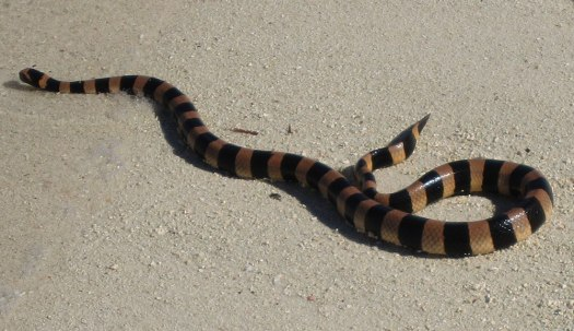 Photograph of a sea krait on sand at the edge of the water