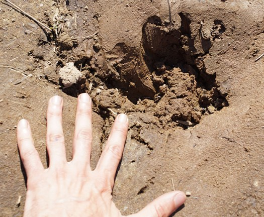Crocodile footprint in mud