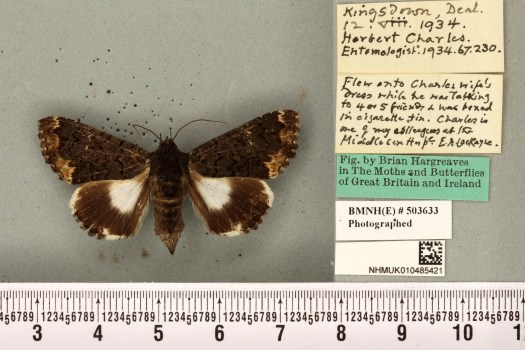 moth-cockayne