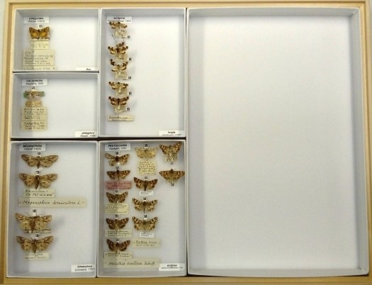 Drawer photographed from above, segmented by differing size boxes, each containing one or a few representatives of the specific Lepidoptera species of therein, with labels