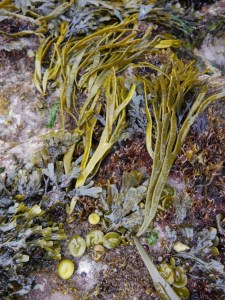 Photo showing the seaweed in the centre of the image, lying onto of rocks and other seaweeds