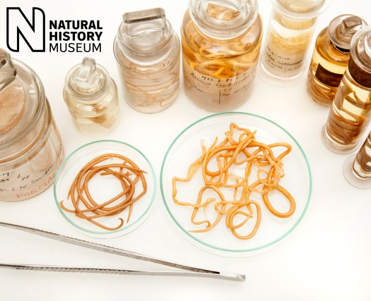 Photograph with a number of jars of preserved worms, and two dishes with worms within them in the centre. A pair of forceps lies on the table beside them for scale.