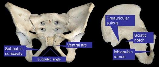 The female pelvis.