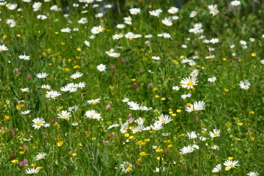 Photo showing a meadow of flowers and grasses. Buttercups and daisies dominate and are visible across the whole photo.