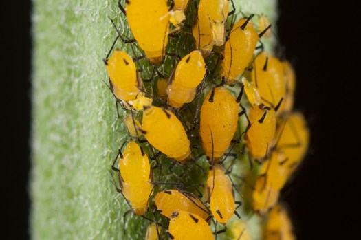 Yellow aphids overtaking a plant