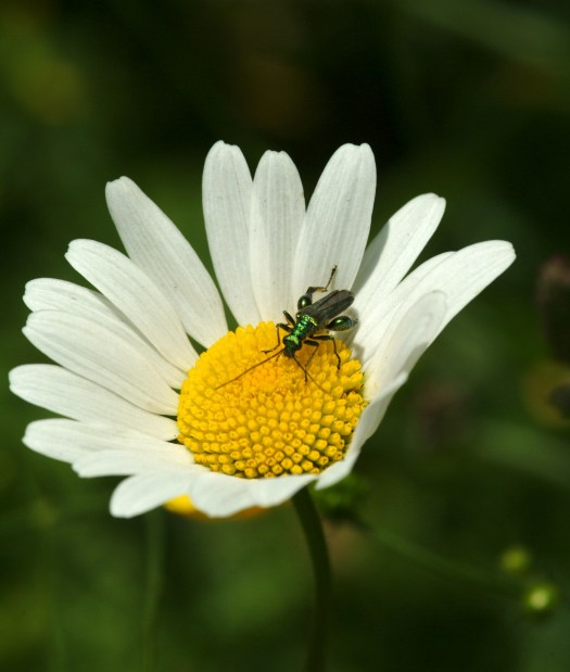 Photo showing the flower of the daisy close up. An iridescent green beetle with bulbous hind legs sits on the flower's yellow centre, feeding.