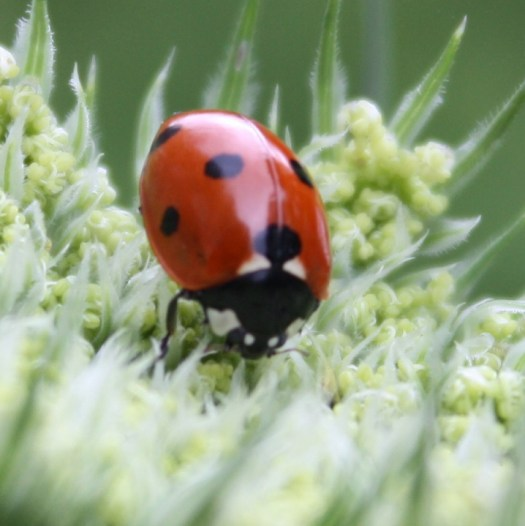 Close-up photo of the red and black ladybird on top of the pale-green flower head of the plant.