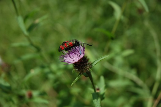 Photo showing the black moth and its red-spots feeding on the purple flower head of the knapweed