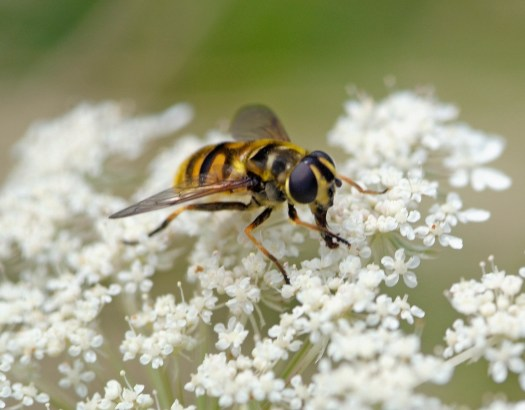 Close-up photo of the hoverfly at rest on small white flowers and feeding on the nectar