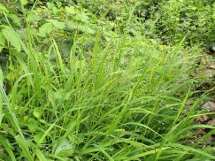 Photo showing the green, grassy plant. It's blades are upright in the foreground, with several flower buds visible in their midst.