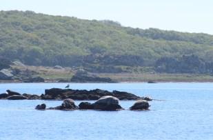 photo of Grey seals in Scotland