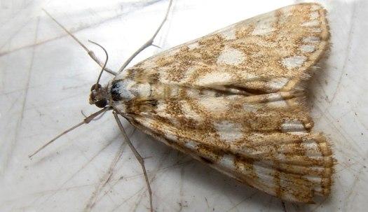 brown-china-mark moth-wildlife garden 2013-08-07