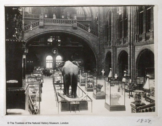 Black and white photograph of the Hintze Hall, taken from the main staircase looking toward the main entrance. Four lines of glass display cabinets line the main floor leading from the stairs towards the entrance. The specimen nearest the photographer on the second row is an adult adult and is facing away towards the entrance.